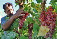 امسال ۳ هزار تن انگور از سطح باغات کوهدشت برداشت میشود